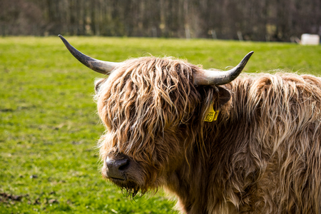 A close up of a brown highland cow, in the Scottish highlands Editorial