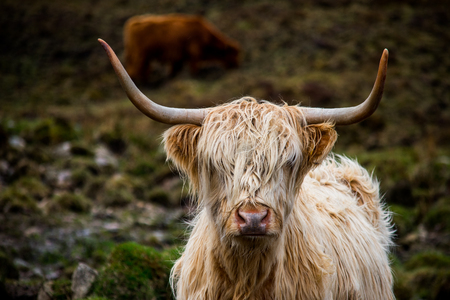 A close up of a brown highland cow, in the Scottish highlands Stock Photo