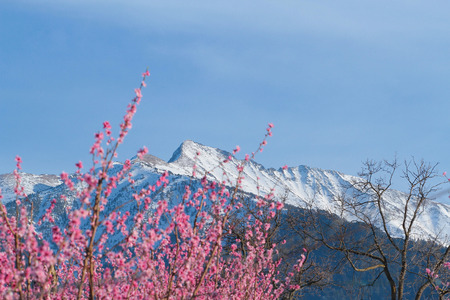 Snow covered mountains in spring with cherry blossoms
