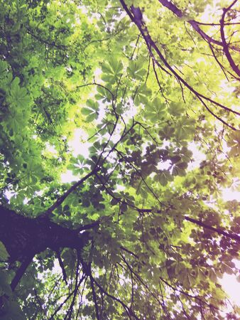 Sweet chestnut tree canopy against a clear sky 写真素材