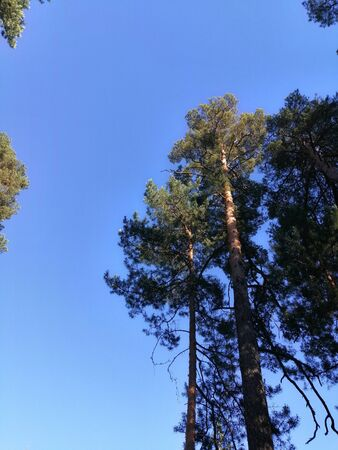 evening sun in the pine forest 스톡 콘텐츠