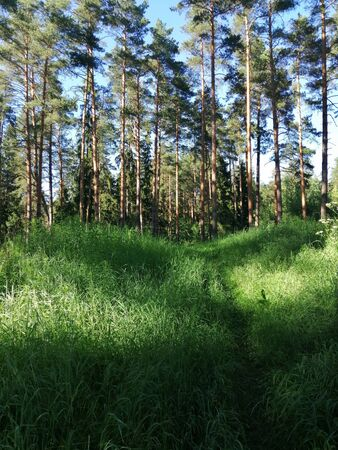 evening sun in the pine forest