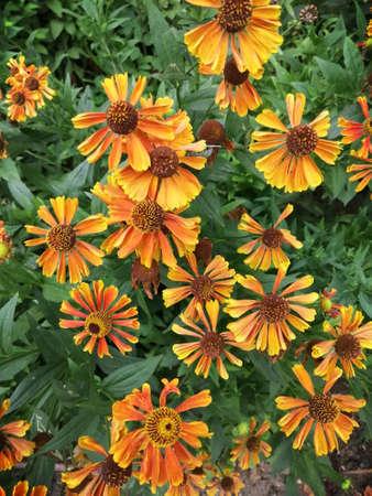 Helenium flower. Season autumn orange background cloudly