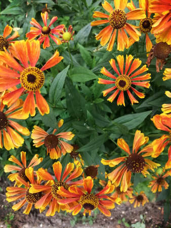 Helenium flower. Season autumn orange background cloudly