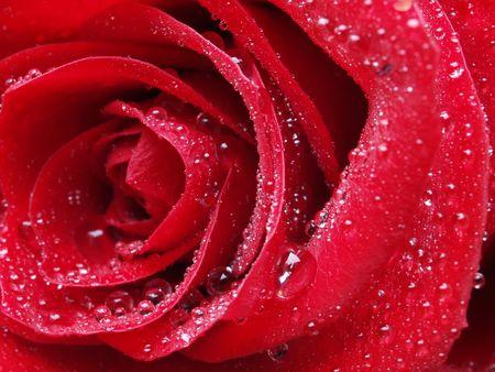 rose Stock Photo - 2496593