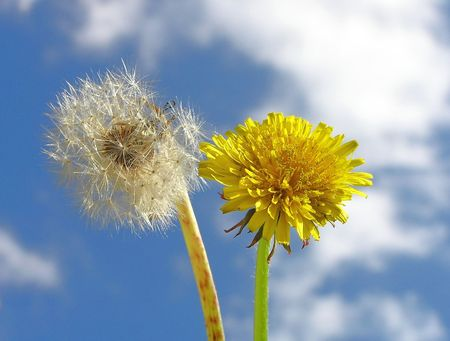 white and yellow dandelion Stock Photo