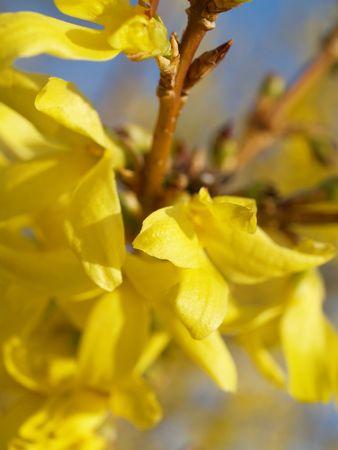 forsythia flower Stock Photo