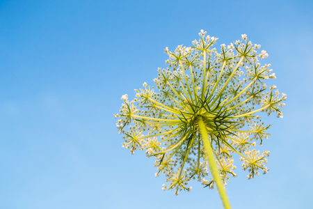 Cow parsnip on sky background Field plant summer view from below. Weed. Poisonous plant. Heracleum. Big hogweed.