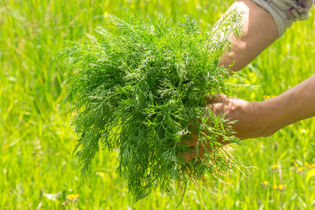 unwashed: Dill in hand. Hands gardener. Work-worn hands. Farmers hands with freshly dill. Freshly picked vegetables. Unwashed dill.