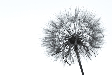 Photo of dandelion silhouette on white