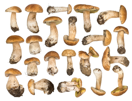 cep: Set of porcini mushrooms isolated on a white background. Cep isolated. The natural color and texture