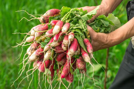 unwashed: Radish in hand. Hands gardener. Work-worn hands. Farmers hands with freshly radish. Freshly picked vegetables. Unwashed radishes with tops