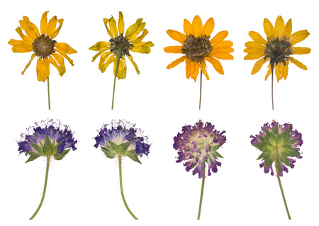 Dried and pressed the spring wild flowers isolated on white background. Herbarium of clover and yellow flowers. Set of purple and yellow plants