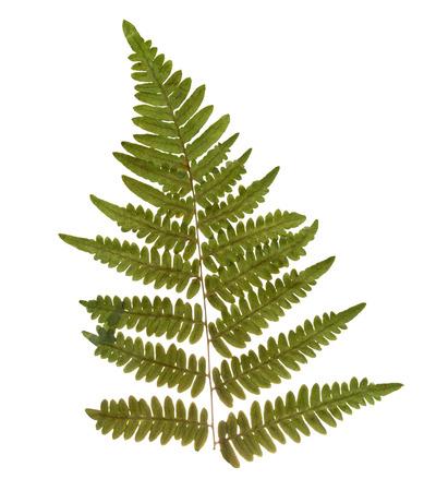 dry leaf: Dried and pressed fern leaf. Herbarium of fern isolated.