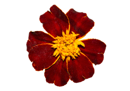 pot marigold: Dark marigold flower isolated on white background