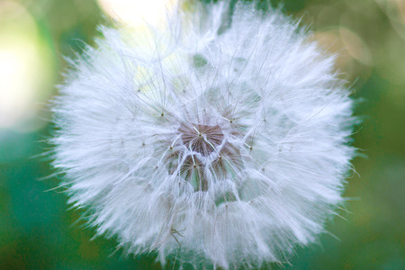 blowball: Big bright fluffy dandelion on a green background, blowball. Stock Photo
