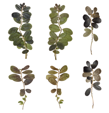 The branches isolated. Herbarium of the forest plants. The natural color and texture. Dried and pressed leaves Stock Photo