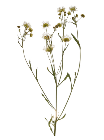 Pressed Dried branch of chamomile drug isolated. Herbarium of wild flowers.