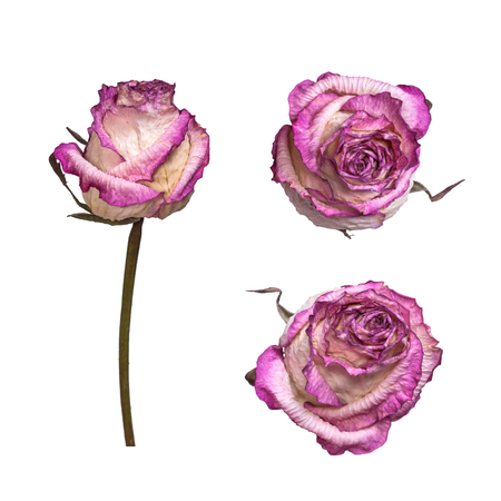 Dry white and pink rose isolated on white background. View from several sides