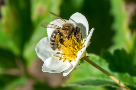The bee pollinates the strawberry flower. Insect on a white flower Фото со стока