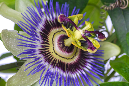 Passiflora passionflower with dew water drops . Big beautiful flower