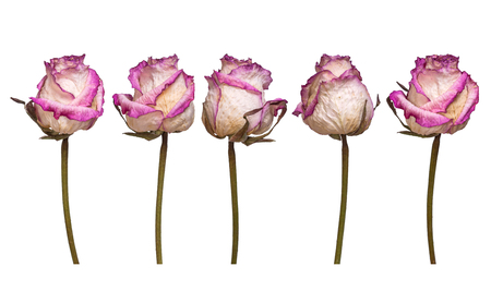 Set of dry white and pink rose isolated on white background. View from several sides