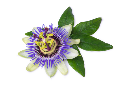 Passiflora passionflower isolated on white background. Big beautiful flower Banco de Imagens