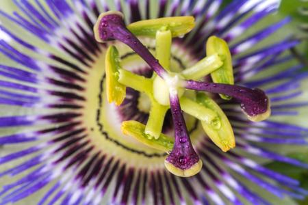 Passiflora passionflower close up. Big beautiful flower Stok Fotoğraf