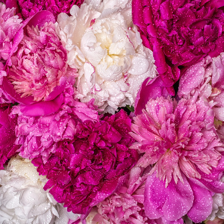 A bouquet of peonies with water drops. Spring violet flowers.