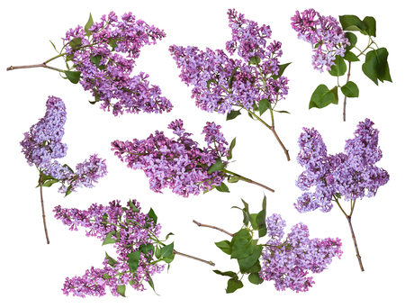Set of branches of lilac isolated on white background. Purple spring flowers