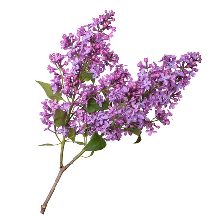 Lilac branch isolated on white background. Beautiful spring flowers. Stock Photo