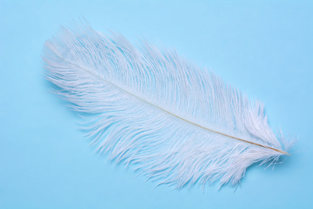 Beautiful white swan feather on a blue background. Stock Photo