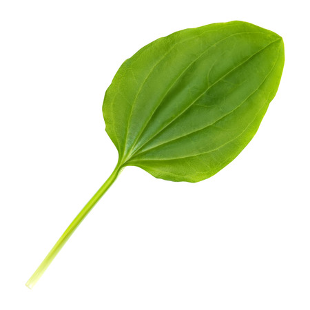 Plantain leaf is isolated on a white background.