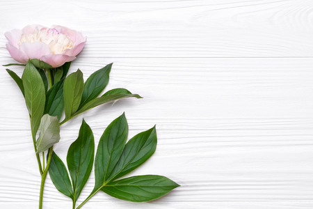 Pink peony flower on a white wooden background. View from above.