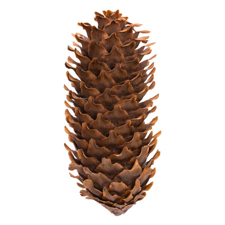 Big fir cone isolated on white background.