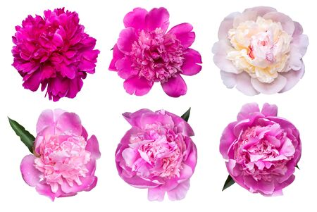 Set of beautiful peony blowers isolated on white background.