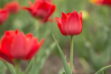 Red tulip on the field. Bright spring flowers