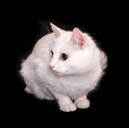 A white cat is sitting on a black background. Fluffy domestic pet