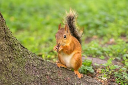 Beautiful red squirrel is eating nuts in the park. Close up shot Stock fotó