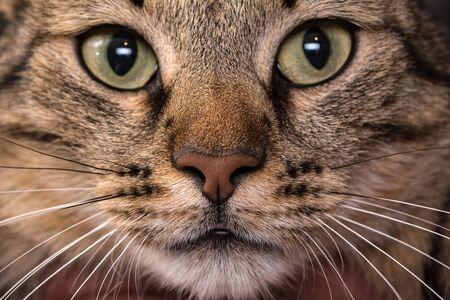 Cat face close up. Macro shot of a brown cat nose.