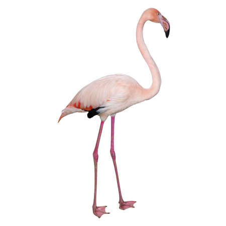 Pink flamingo isolated on white background. Beautiful bird