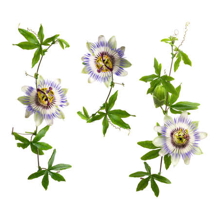Set of passiflora passionflower branches isolated on white background. Big beautiful flower. A branch of creepers Banque d'images