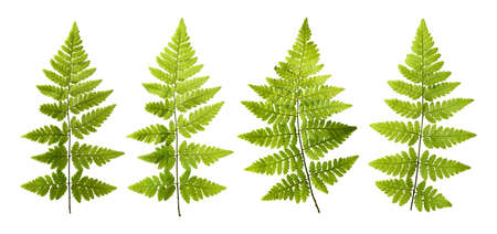 Seth and fresh fern leaves isolated on white background