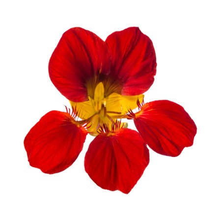 Red nasturtium flower isolated on white background Фото со стока