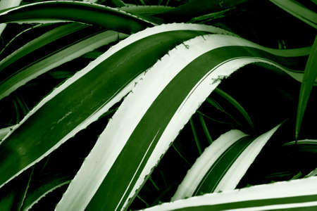 Spiny leaves from a wild agave americana, commonly known as the century plant. Artificial color, not sharpened. Stock Photo