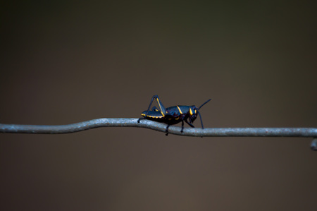 fence wire: Eastern Lubber Grasshopper on a fence wire alone