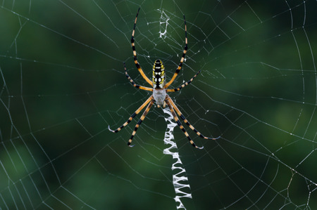 Banana spider in its web early in the morning Stok Fotoğraf