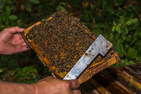beekeeper with hive tool in the hand, checks honeycomb removed from the hive Stock Photo
