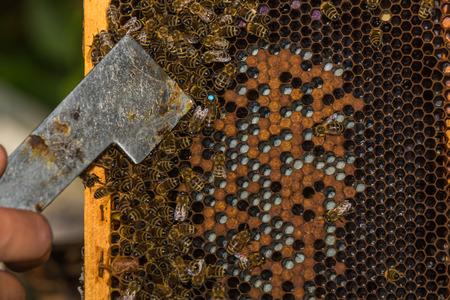 Imker mit Bienenstock-Werkzeug in der Hand, zeigt beschriftete Bienenkönigin mit Bienenstock-Werkzeug Standard-Bild - 81017373
