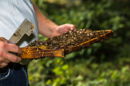 apiculture: beekeeper with hive tool in the hand, makes a hive inspection, more precisely honeycomb removed from the hive Stock Photo